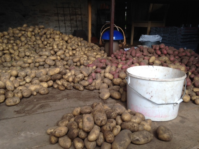 Sortera potatis